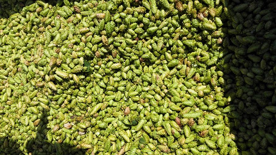 brasserie-dulion-houblon-bio-biere-lyon-8